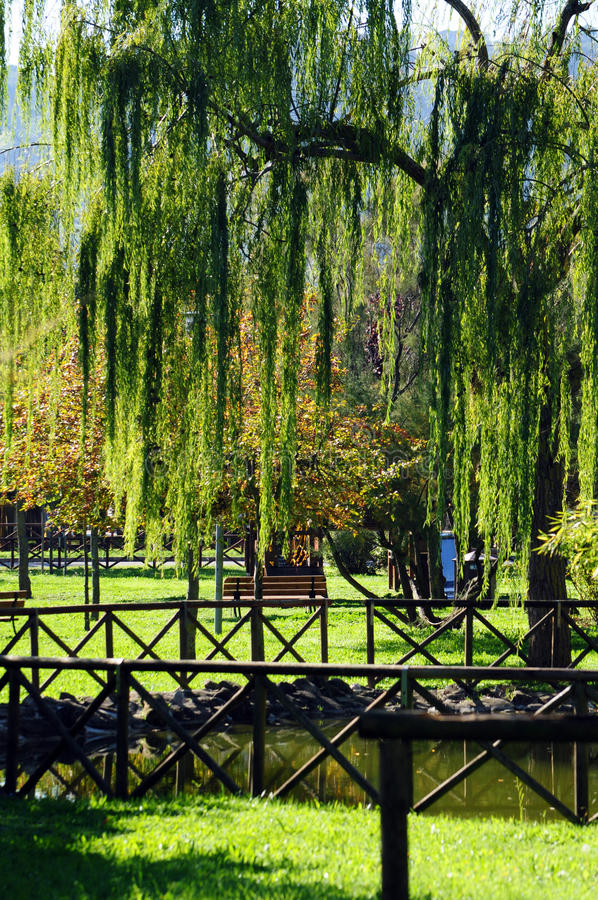 Download Weeping willow in the park stock photo. Image of plant - 34512468