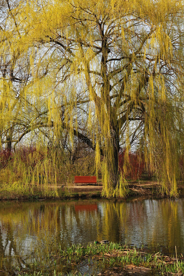 Download Weeping willow stock image. Image of park, nature, beautiful - 30828115