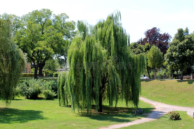 Weeping willow or Salix babylonica tall old tree with dense fresh green leaves surrounded with grass and other trees. Weeping willow or Salix babylonica or stock photo