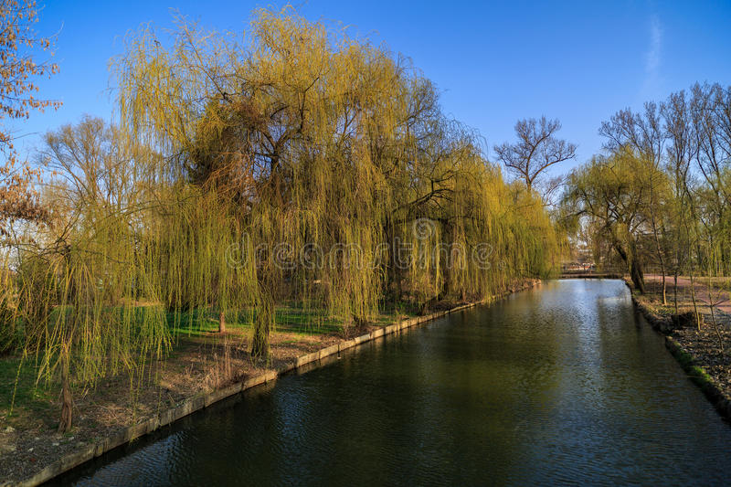 Weeping willow on the shore of a lake royalty free stock photography