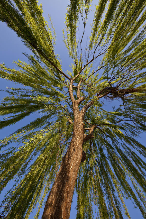 Download Weeping willow tree stock photo. Image of weeping, detail - 15546194