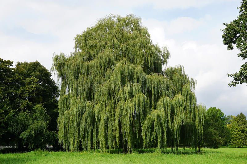 Weeping willow tree stock image
