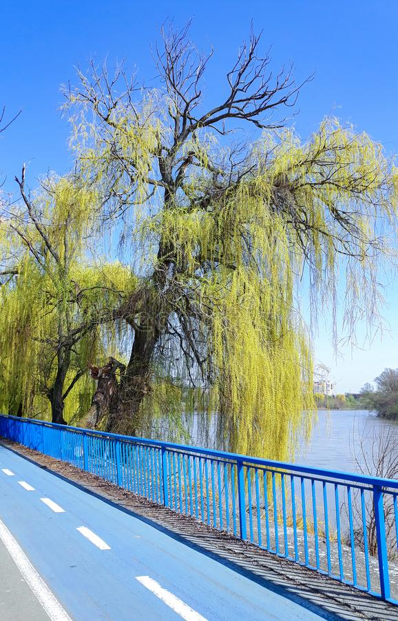 Weeping Willow tree on the bank of Mures river  and a bicycle trail- Arad, Romania. Weeping Willow tree on the bank of Mures river, in a sunny spring day and a stock photography