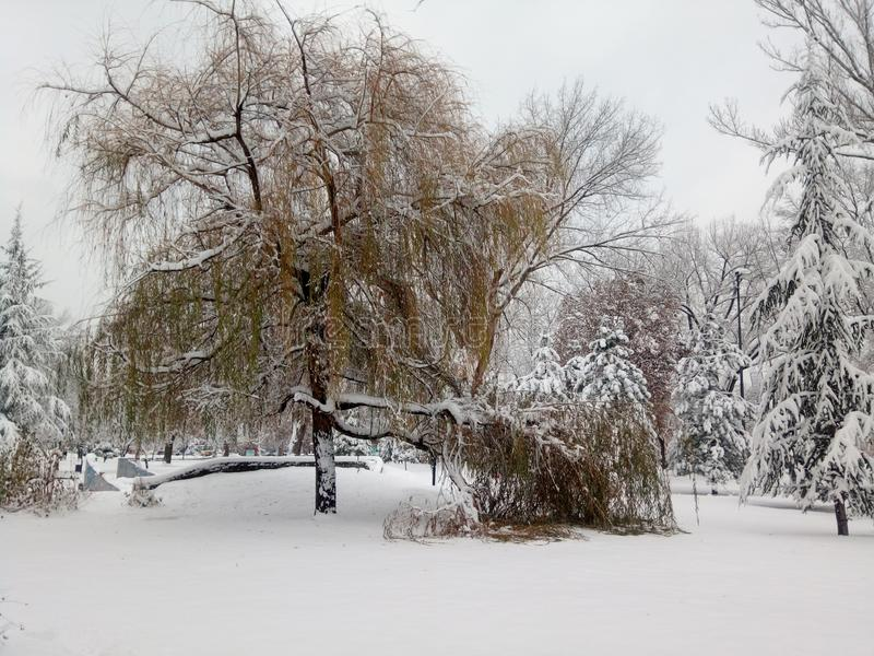 Weeping willow tree covered with snow stock photos