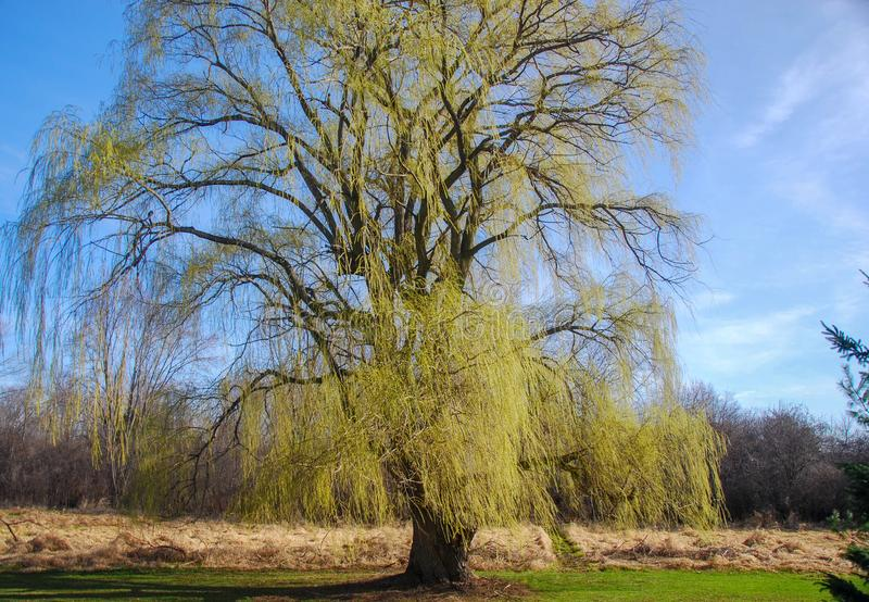 Weeping Willow Tree in Early Spring. A weeping willow tree in the early springtime. Small green leaf buds starting to grow on the branches. Bright blue sky on a stock photos