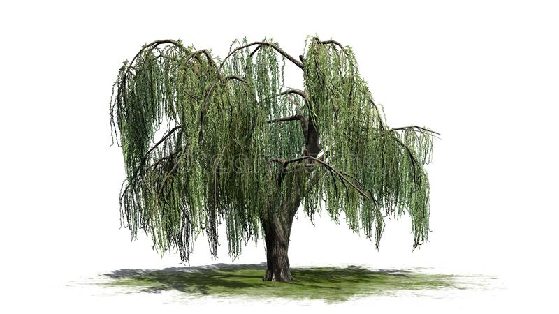 Weeping willow tree on a green erea. With shadow on the floor - isolated on white background stock image