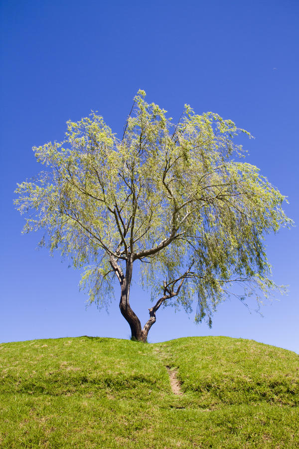 Weeping willow tree on a hill with footpath stock images