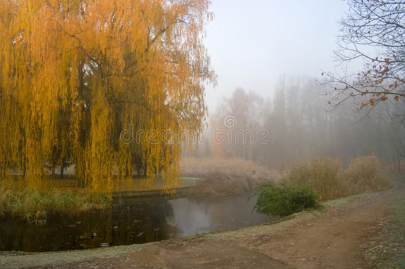 Weeping willow tree over the pond in autumn park. Misty foggy autumn day royalty free stock images