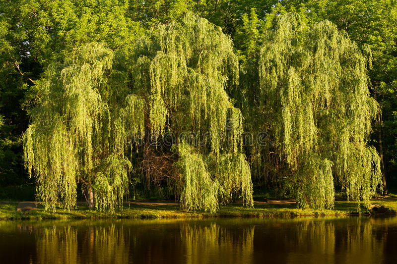 Weeping Willow Tree. Overhanging the edge of the water at a lake royalty free stock photography