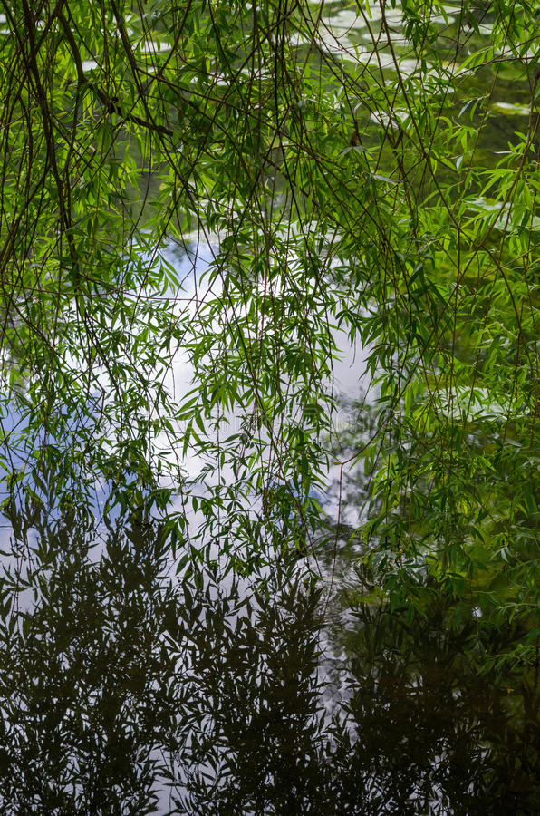 Weeping Willow tree reflections on a lake. Beautiful branches of a weeping willow tree reflecting into the calm water of a lake royalty free stock image