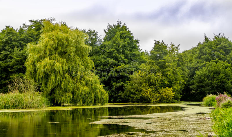 Weeping Willow Tree. Salix × sepulcralis. Situated on the side of a natural lake in the South of England stock photo