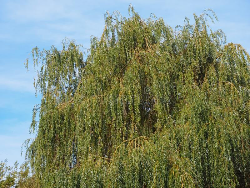 Weeping willow tree royalty free stock images