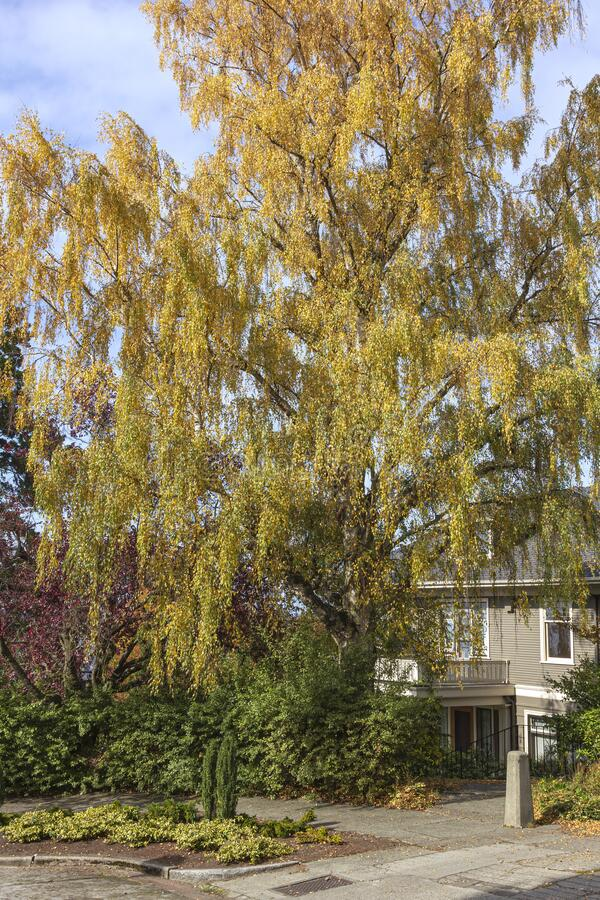 Weeping willow tree in Seattle WA stock image
