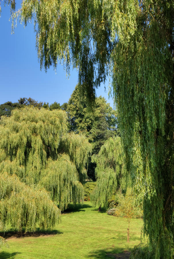 Download Weeping Willows stock photo. Image of vibrant, park, tree - 16282860