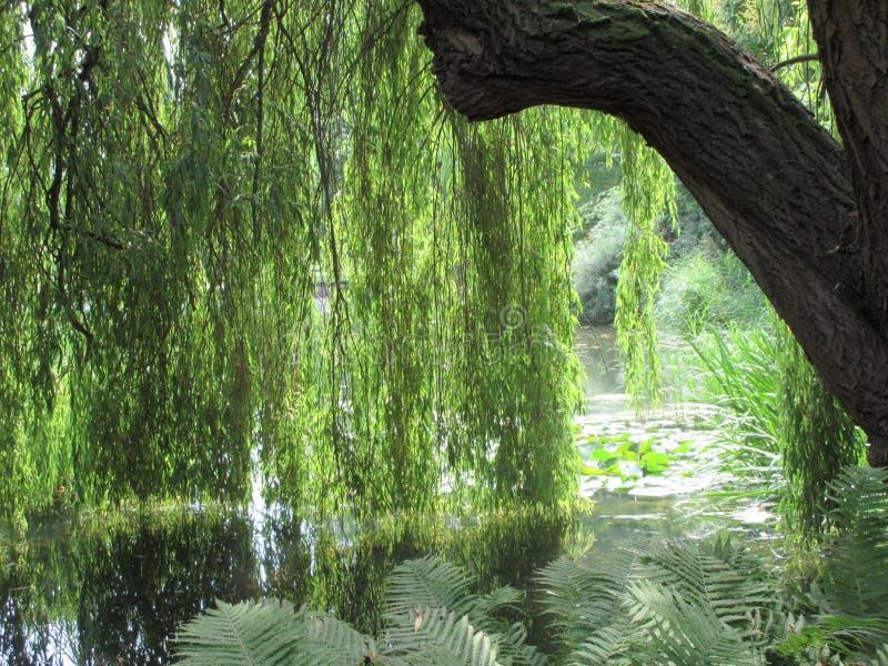 Weepy wierzbowy drzewo na wodzie obrazy royalty free