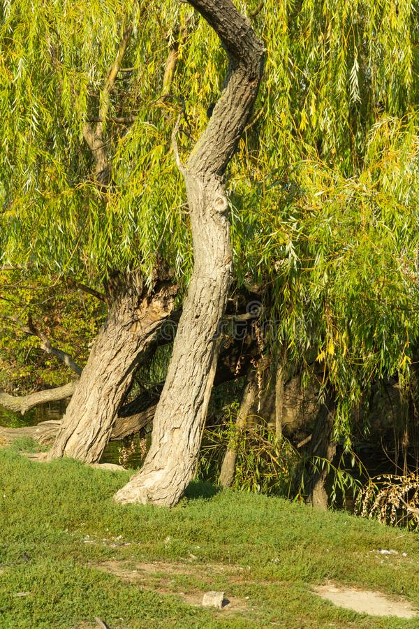 Weepy willow tree on water royalty free stock image