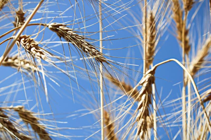 Weergeven die omhoog een blauwe hemel door gersthoofden bekijken stock foto