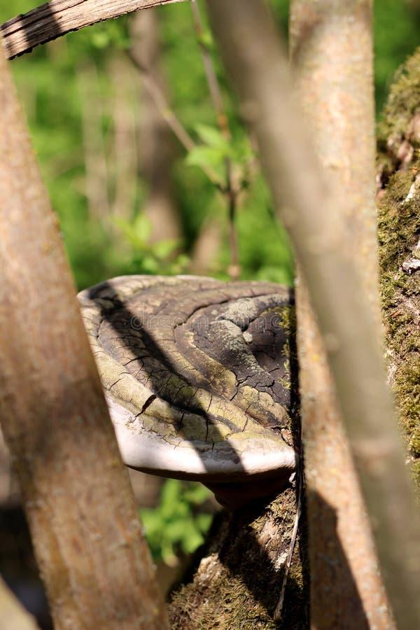 Weergeven door de takken van de boom op GLB van een grote paddestoel, een licht ontvlambare stof, die op een boom, in de stralen  stock afbeeldingen