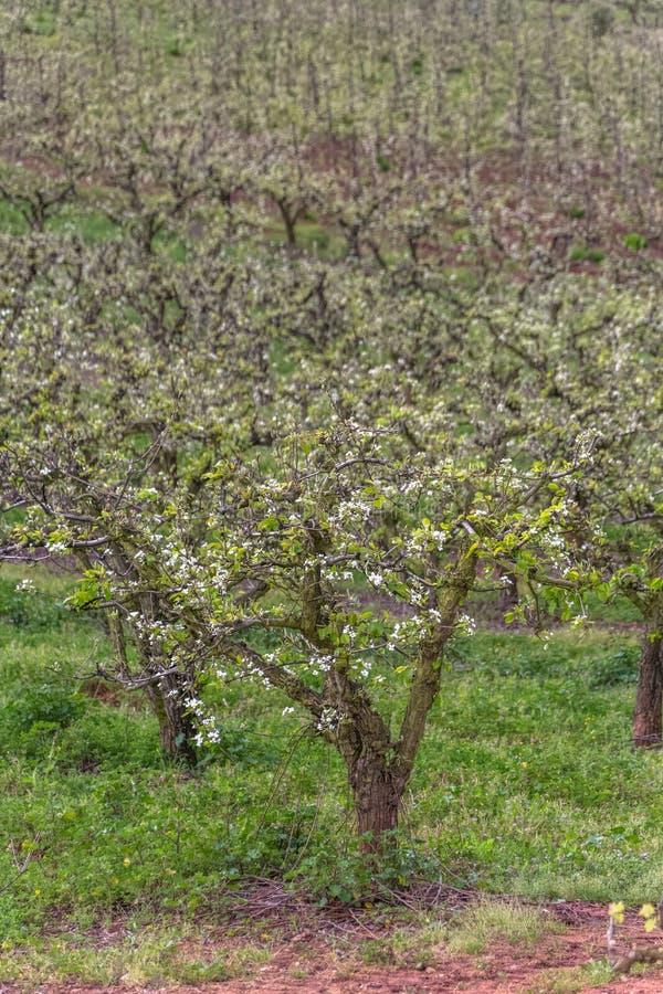 Weergeven van boomgaard met bloeiende appelbomen, biologische landbouw stock afbeelding