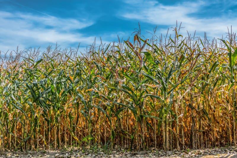 Weergeven van cornfield landbouwgrond, hemel met wolken als achtergrond royalty-vrije stock fotografie