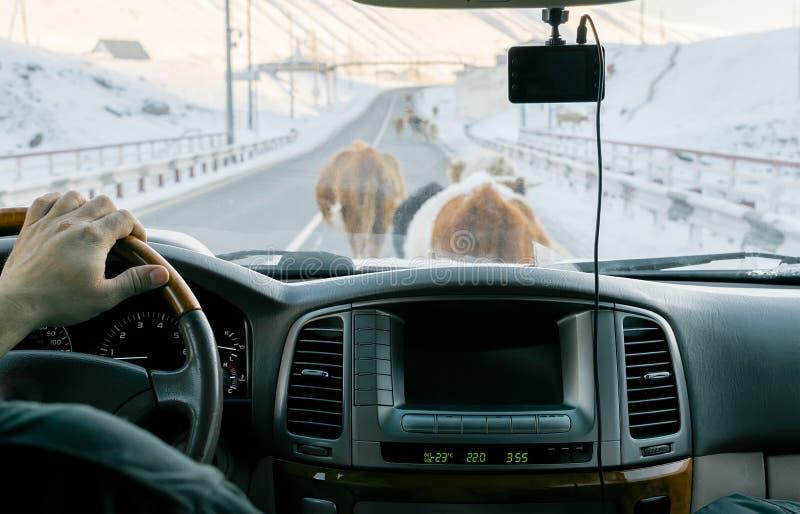 Weergeven van de auto op de weg, die door koeien lopend op het wordt geblokkeerd royalty-vrije stock afbeeldingen