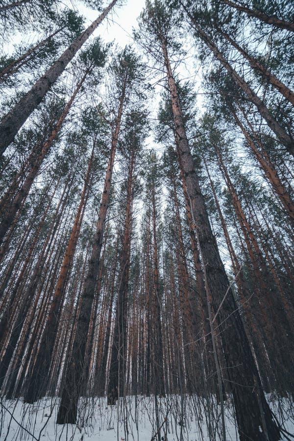 Weergeven van de bosboombovenkanten van de de winterpijnboom aan luifel met sneeuw in de voorgrond Brede de Hoekachtergrond van d royalty-vrije stock afbeelding