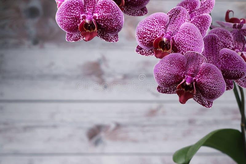 Weergeven van de grote bloemen van purpere orchideeën en een groot groen blad, aan de kant van een grijze achtergrond Open plek royalty-vrije stock foto's