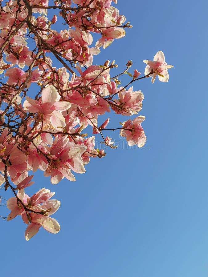 Weergeven van de mooie bloeiende roze takken van de magnoliaboom tegen duidelijke blauwe hemel royalty-vrije stock afbeeldingen