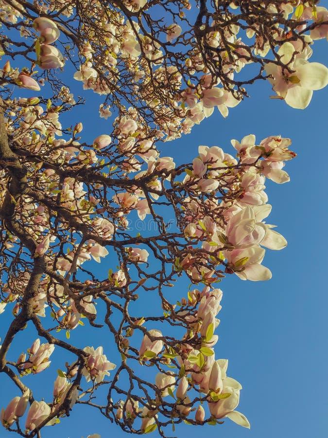 Weergeven van de mooie bloeiende witte takken van de magnoliaboom tegen duidelijke blauwe hemel royalty-vrije stock afbeelding
