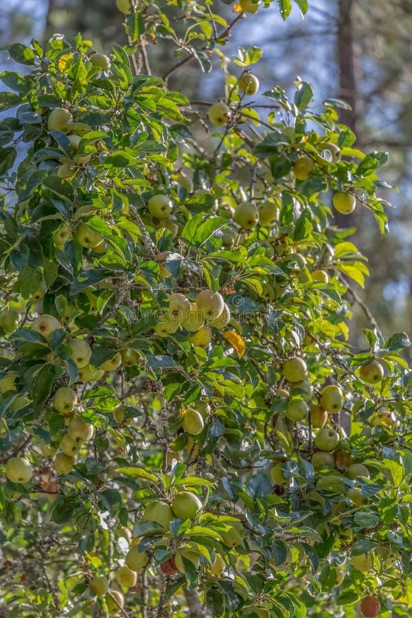 Weergeven van een appelboom met fruitdetail en vage achtergrond royalty-vrije stock foto