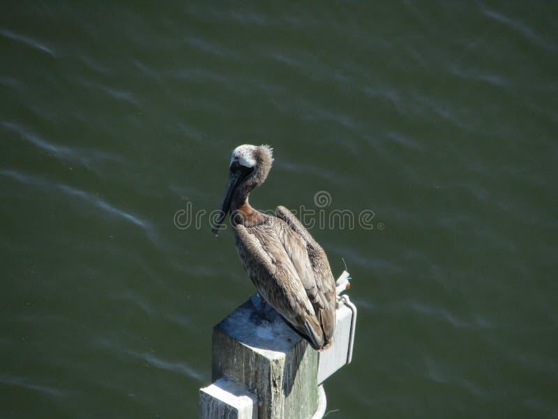 Weergeven van een brug bruine pelikaan stock afbeeldingen