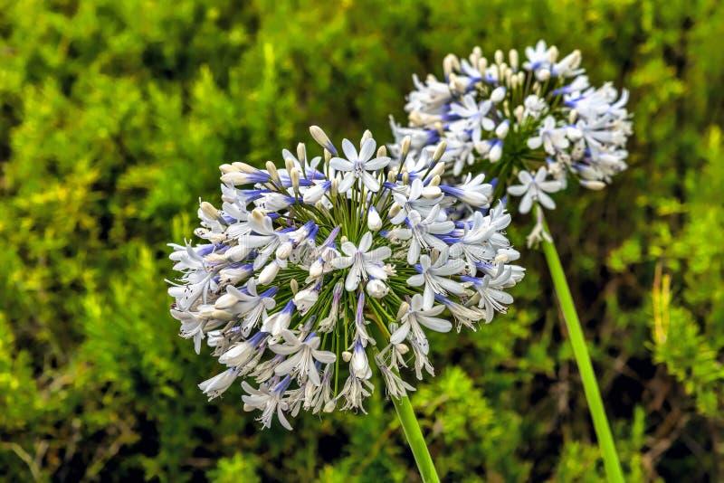 Weergeven van een gebied die uit kleine prachtig gevormde purpere/blauwe bloemen in de ronde op een groene steel bestaan die, zic royalty-vrije stock foto's