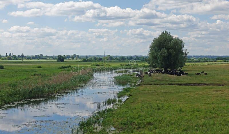 Weergeven van een groene weide met een kudde van koeien dichtbij de rivier stock foto's