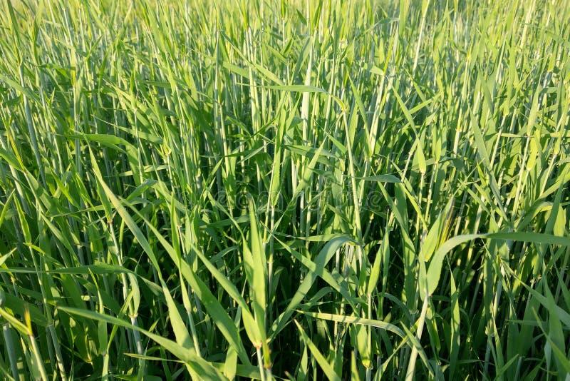 Weergeven van een jong groen gebied van tarwe of gerst op een de zomer duidelijke dag, aardachtergrond royalty-vrije stock afbeeldingen