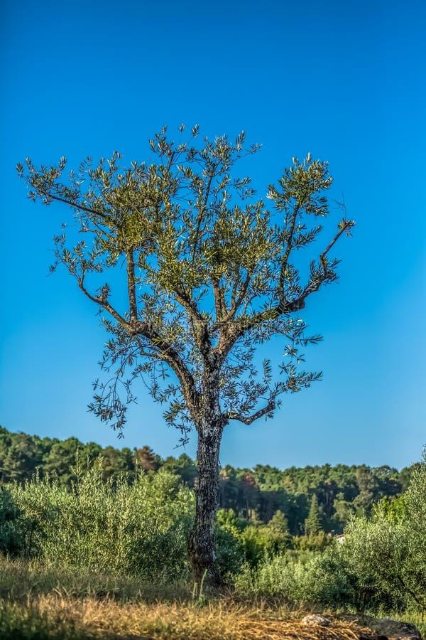 Weergeven van een olijfboom die op gebied met olijfbomen wordt geïsoleerd royalty-vrije stock afbeeldingen