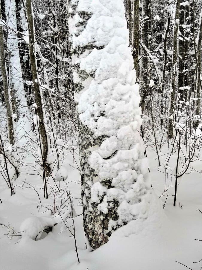 Weergeven van een sneeuwberkboom in een de winterbos royalty-vrije stock afbeeldingen
