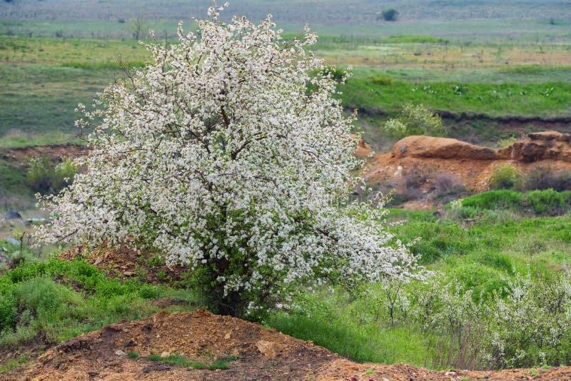 Weergeven van enige wilde pruim of kersenboom in bloei in steppe royalty-vrije stock afbeelding