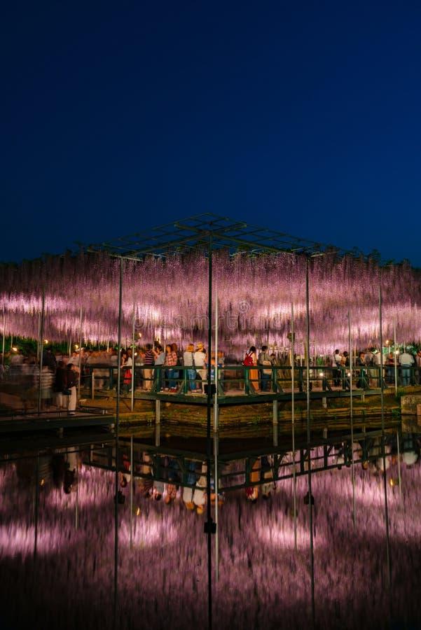 Weergeven van latwerk van volledige bloei het Purpere roze Reuzewisteria geheimzinnige schoonheid wanneer omhoog aangestoken bij  royalty-vrije stock foto's