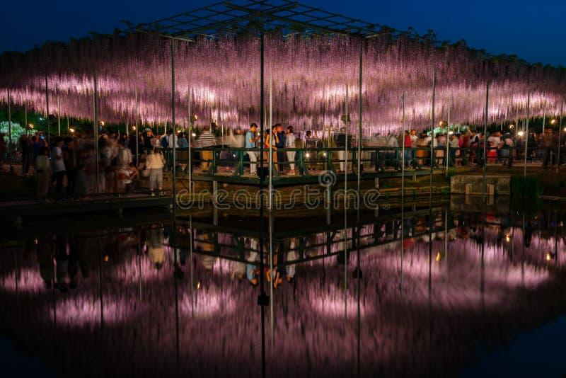 Weergeven van latwerk van volledige bloei het Purpere roze Reuzewisteria geheimzinnige schoonheid wanneer omhoog aangestoken bij  royalty-vrije stock foto