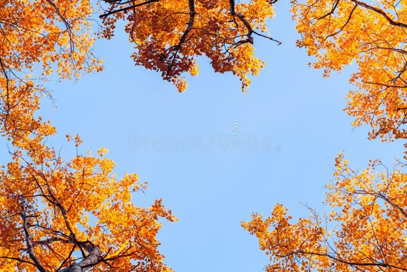 Weergeven van onderaan op de bovenkanten van espen in het de herfstbos tegen de blauwe hemel, kleurrijk de herfstlandschap met ex stock afbeelding