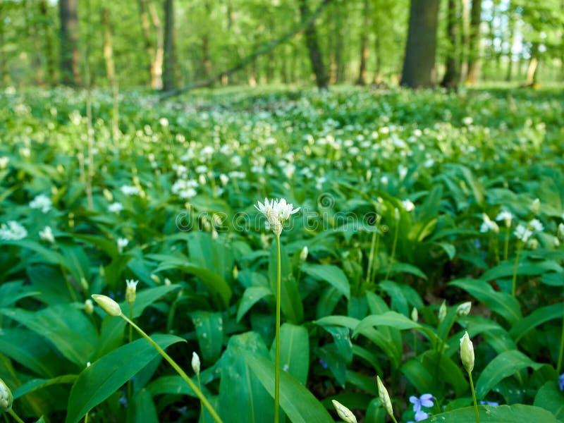 Weergeven van weide met bloemen en bladeren van wild knoflook op een de lentedag stock fotografie