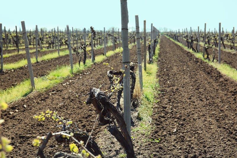 Weergeven van wijngaard op zonnige dag royalty-vrije stock afbeelding