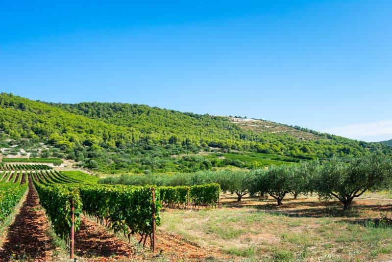 Weergeven van wijngaarden en olijfboomgaarden op het Eiland Vis in Kroatië, Europa, op een de zomerdag stock fotografie