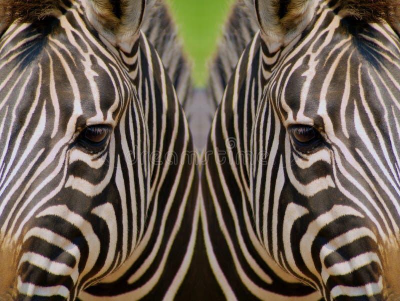 Weerspiegelde Zebras