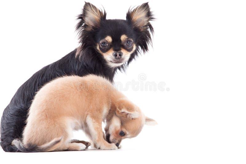 Weet chihuahuahundkapplöpning royaltyfri fotografi