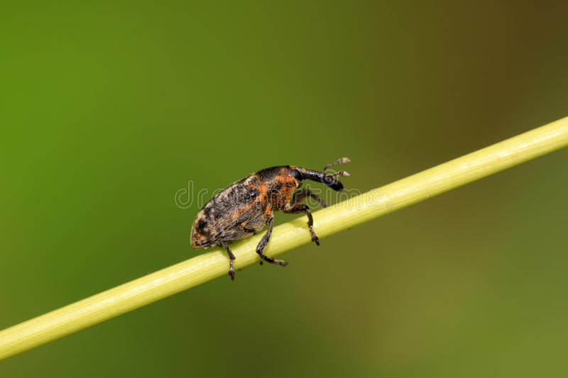 Weevil. A kind of insect has a long nose stock photo