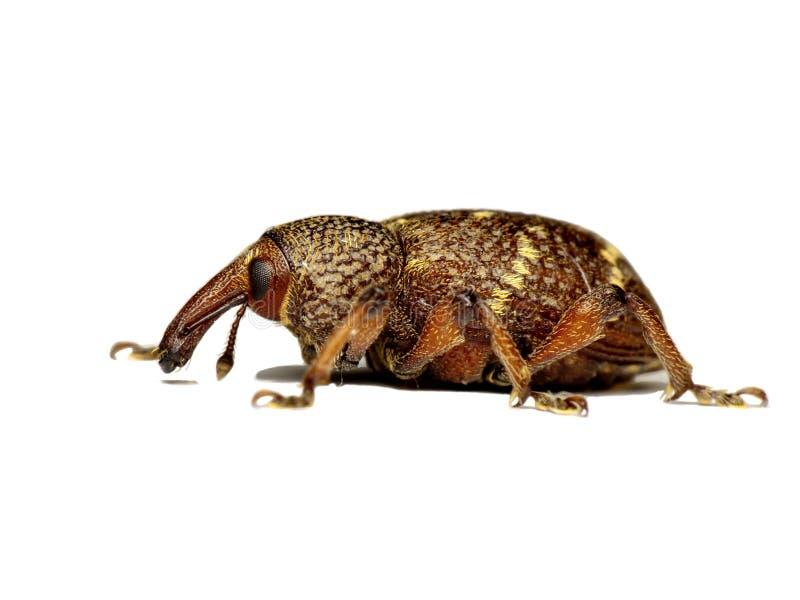 Download Weevil stock photo. Image of beetle, curculionidae, long - 24796272