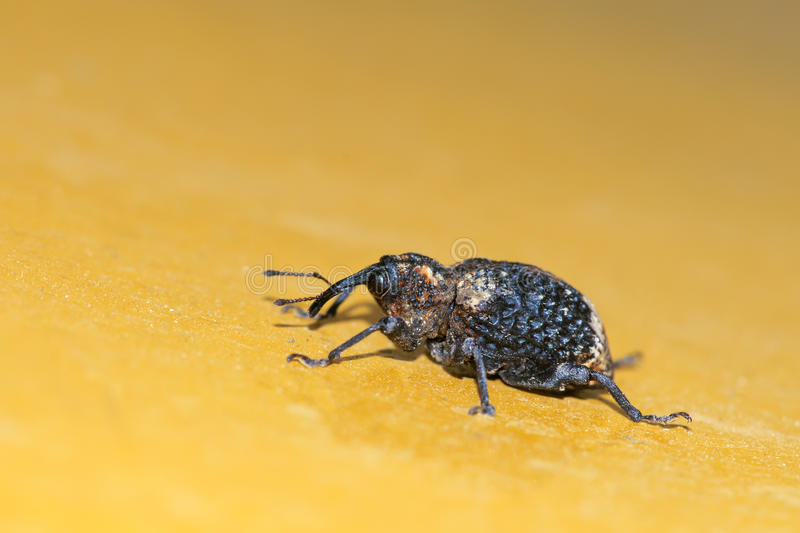 Download Weevil stock photo. Image of animals, insects, bugs, macro - 25233770