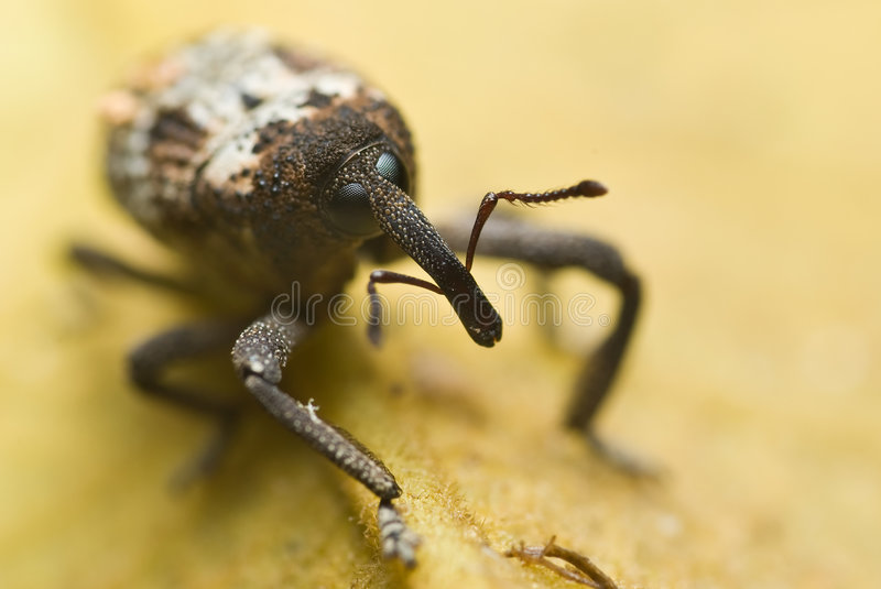 Weevil stock images