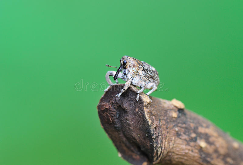 Weevil on branches